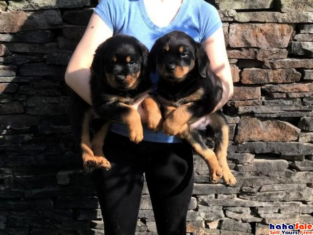 Rottweiler Puppies Available for sale Tapah Perak   hahaSale